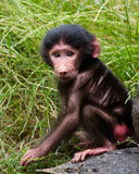 Baby Baboon On Rock In Grass Stock Photo