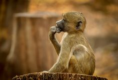 Baby baboon thinker. Baby baboon Papio cynocephalus in profile sitting still deep in thought stock photo