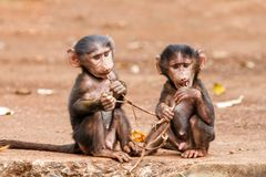Baby baboons in Tanzania royalty free stock photography