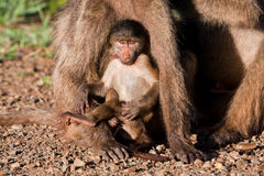 Baby baboon playing with mother Stock Photography