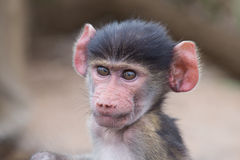 Baby baboon portrait looking very confused close-up. Baby baboon portrait looking very confused in close-up royalty free stock image