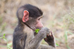 Baby baboon portrait looking very confused close-up. Baby baboon portrait looking very confused in close-up royalty free stock photos