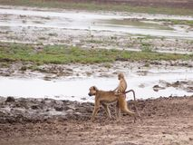 Baby baboon Royalty Free Stock Photos