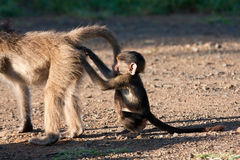 Baby baboon scratching another baboon's bump Stock Photo