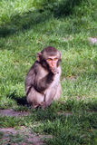 Baby baboon sit Royalty Free Stock Photos