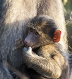 Baby baboon sitting on his mother's lap Royalty Free Stock Images