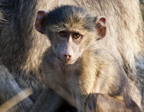 Baby baboon sitting on his mother's lap Royalty Free Stock Photos