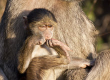 Baby baboon sitting on his mother's lap Stock Photography