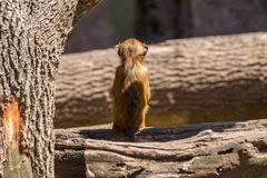 Baby baboon sitting on tree, back turned Stock Images