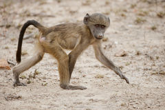 Baby Baboon walking, South Africa Stock Photography