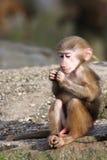 Baby baboon. Baby hamadrya baboon looking at his hands Stock Photo