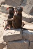 Baby baboons cuddling. Playing, eating, at Wildlands Emmen royalty free stock photography