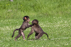 Baby baboons playing. Baby chacma baboons playing rough and tumble in green grass Royalty Free Stock Image