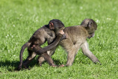 Baby baboons playing. Baby chacma baboons playing rough and tumble in green grass Stock Photography