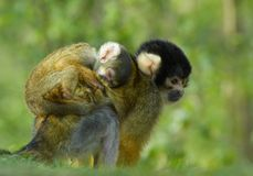 Baby backpack. Mother and baby squirrel monkey royalty free stock photo