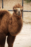 Baby Bactrian camel Stock Photography