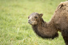 Baby bactrian camel Royalty Free Stock Photos