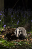 Baby badger cub in bluebells - Meles meles Royalty Free Stock Images