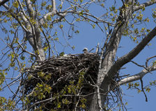 Baby bald eaglet in nest Royalty Free Stock Image