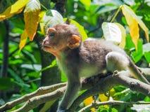Baby Balinese aap met lange staart Royalty-vrije Stock Afbeeldingen