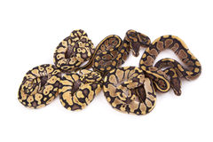 Baby Ball Pythons, Firefly, Fire and Pastel morphs Royalty Free Stock Photography