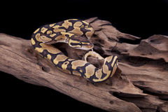 Baby Ball or Royal Python, Fire morph. On a piece of wood, on a black background Stock Image