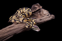 Baby Ball or Royal Python, Firefly morph. On a piece of wood, on a black background Stock Photos