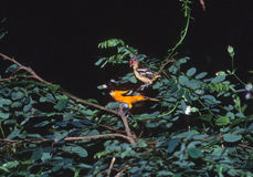 Baby Baltimore Oriole Royalty Free Stock Images