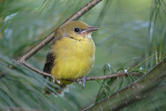 Baby Baltimore Oriole Royalty Free Stock Image