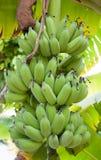 Baby bananas Stock Image