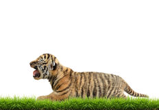 Baby bangal tiger with green grass isolated Stock Images