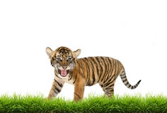 Baby bangal tiger with green grass isolated Royalty Free Stock Photo