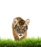Baby bangal tiger with green grass isolated Stock Photography