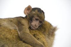 Baby Barbary Macaque Royalty Free Stock Images