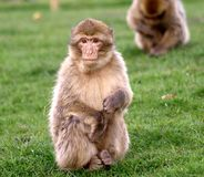 Baby Barbary Macaque  Royalty Free Stock Image