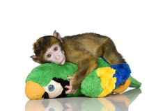 Baby Barbary Macaque - Macaca Stock Photos