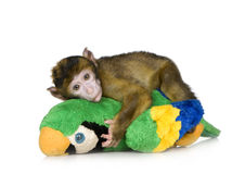 Baby Barbary Macaque - Macaca Stock Photo