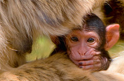 Baby Barbary Macaque (Macacus sylvanus). Portrait of a baby Barbary Macaque (Macacus sylvanus) hiding on the lap and under the arms of its mother and looking Stock Images