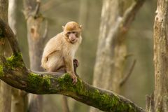 A baby barbary macaque monkey Stock Images