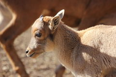 Baby Barbary Sheep, Aoudad Stock Photography