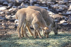 Baby Barbary Sheep, Aoudads Royalty Free Stock Photo