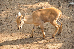 Baby barbary sheep Stock Photo
