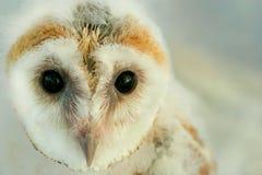 Baby Barn Owl Stock Image