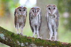 Baby Barn Owl Royalty Free Stock Photos