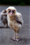 Baby Barn Owl Royalty Free Stock Photography