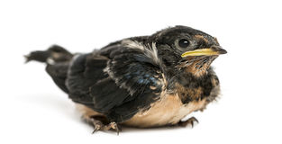 Baby Barn Swallow landed on the ground, Hirundo rustica Stock Photos