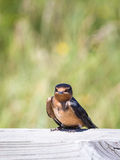 Baby Barn Swallow Stock Images