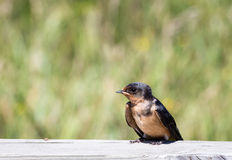 Baby Barn Swallow Royalty Free Stock Photo