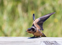 Baby Barn Swallow Stock Photos