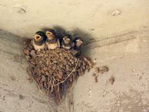 Baby Barn Swallows calling for food Stock Images